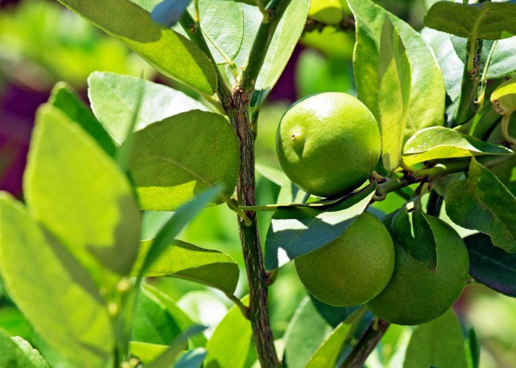 key limes vs limes