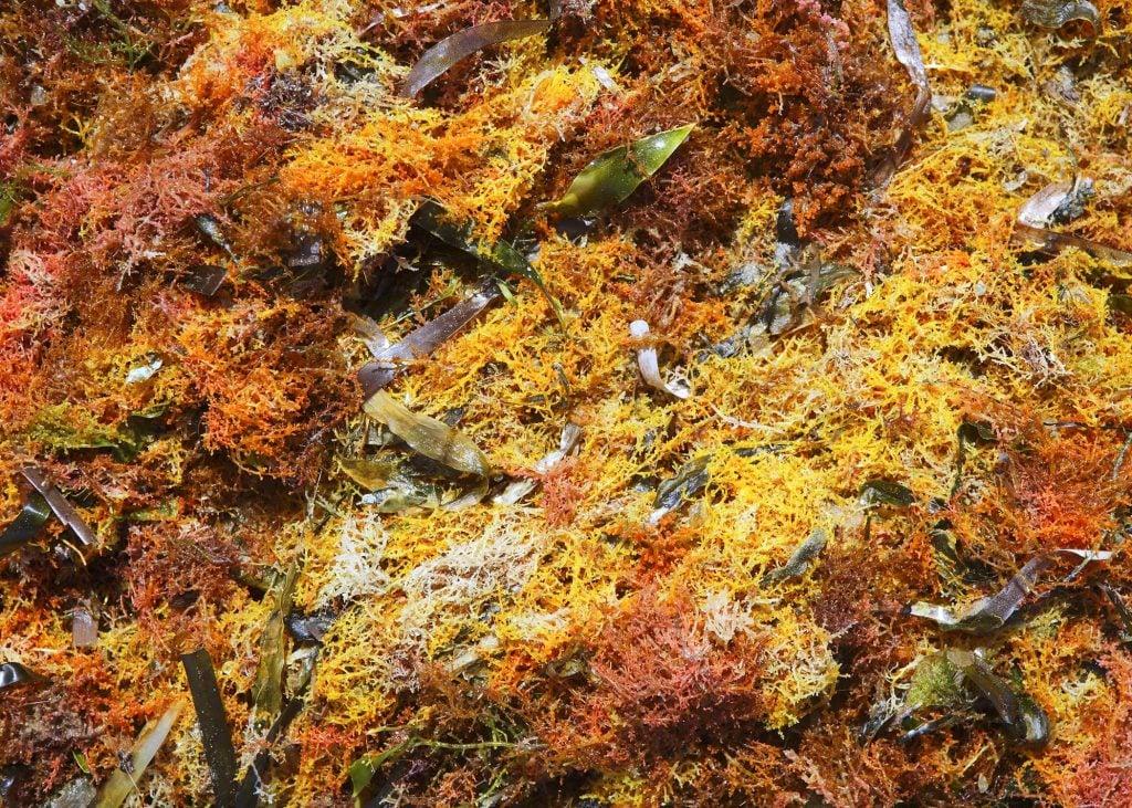 Dr. Sebi real sea moss