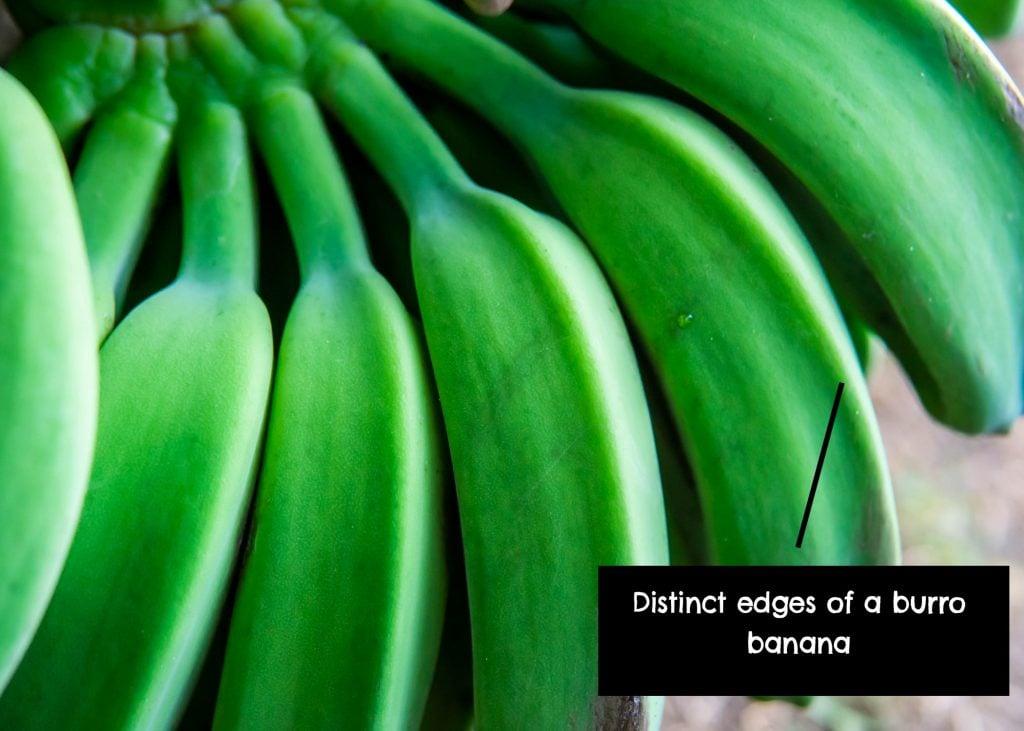 Differences between burro banana and regular banana